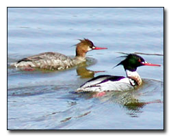 Merganser Digital Photography © Outdoor Eyes