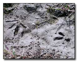 Ruffed Grouse Tracks Digital Photography © Outdoor Eyes
