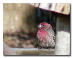 Purple Finch Digital Photography © Outdoor Eyes