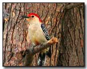Red-Bellied Woodpecker Digital Photography © Outdoor Eyes