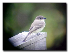 Eastern Phoebe Photograph © Dave Pelletier