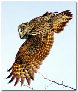 Great Gray Owl� Laurie L. Volk