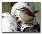 Carolina Wren Digital Photography © Outdoor Eyes
