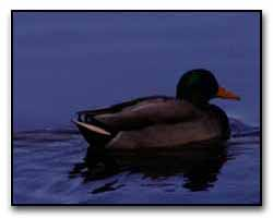 Mallard Digital Photography © Outdoor Eyes