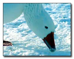 Snow Goose Digital Photography � Outdoor Eyes