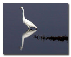 Egret Digital Photography © Outdoor Eyes