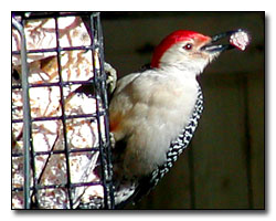 Red Belly Woodpecker Photography © Outdoor Eyes