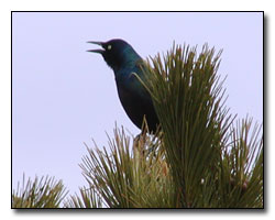Grackle Photography © Outdoor Eyes