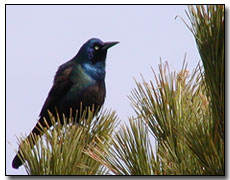 Grackle Digital Photography © Outdoor Eyes