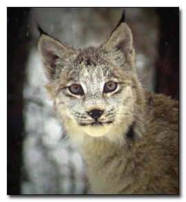 Bobcat Photograph © Terry